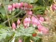 Srdcovka / Dicentra spectabilis