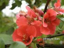 Kdoulovec / Chaenomeles japonica