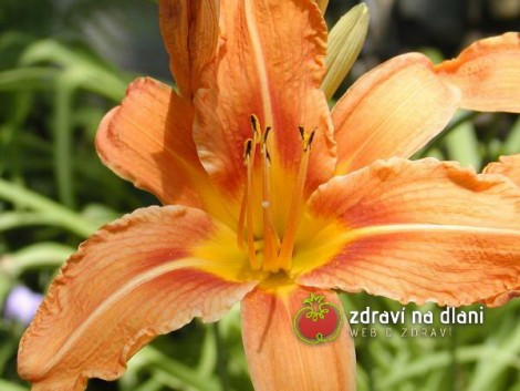 Denivka / Hemerocallis citrina